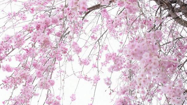 Weeping cherry tree, weeping cherry tree