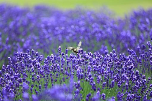 라벤더와 나비 3