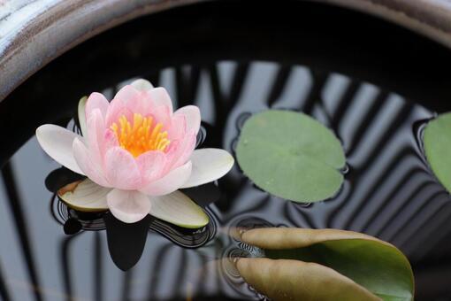 lotus. Water lily. Medaka bowl.