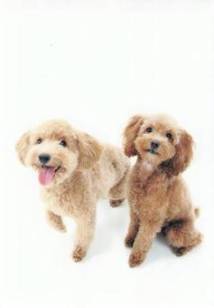 Red and apricot toy poodle