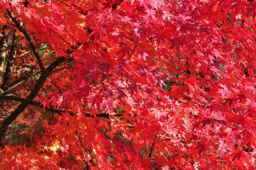 Autumn leaves 22 Bright red autumn leaves
