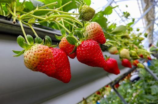 Image of strawberry picking