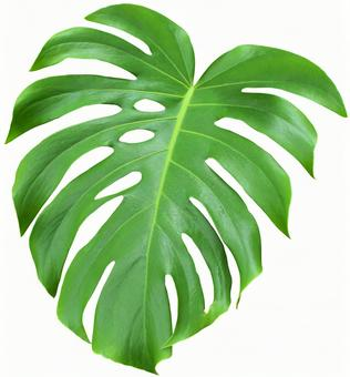 Monstera (PSD has background transmission, clipping path included)