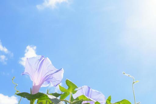 푸른 하늘과 나팔꽃