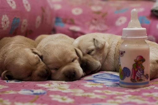 Animals / Labrador Retriever Baby 2