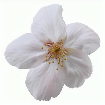 Cut out photo material Sakura petals 16 - 05