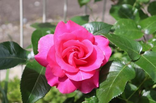 짙은 핑크색의 장미 2