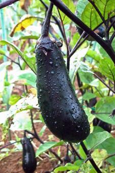Eggplant # 5
