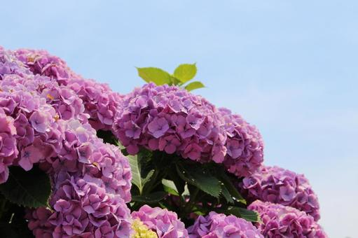 Hydrangea on a sunny day 001