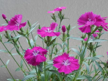 Silene flowers