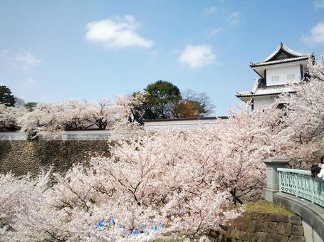 金泽城堡的樱花