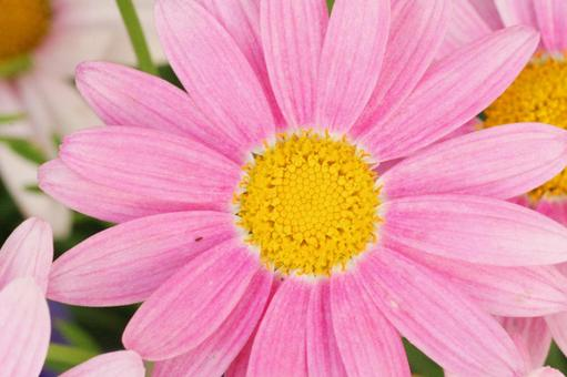 Gerbera Fukaya Festa Pollen Gardening Flowers April Spring Flowerbed