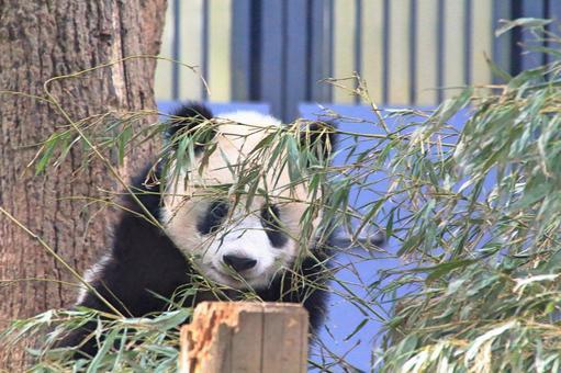 Baby Panda Shan Shan