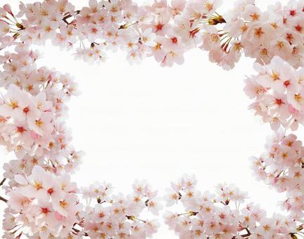 Cherry blossom frame in full bloom