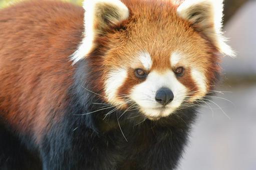 Redress Panda 4