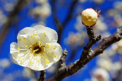 早咲きの白い八重の梅の花のアップと青空