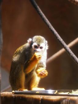 可愛的普通松鼠猴
