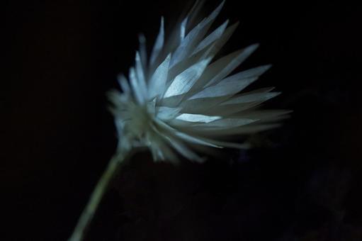 Shinkalfa / Dried flowers