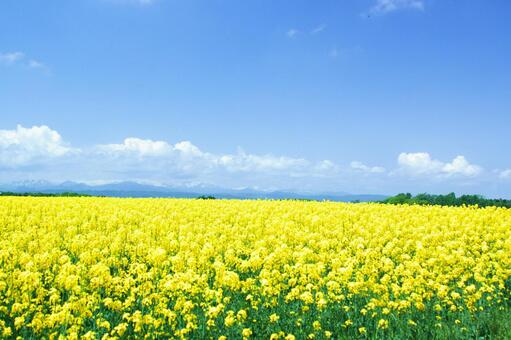 Rape field of yellow carpet