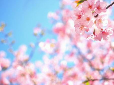 Cherry blossoms and blue sky 01