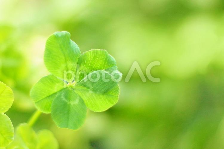 5つ葉のクローバーの写真