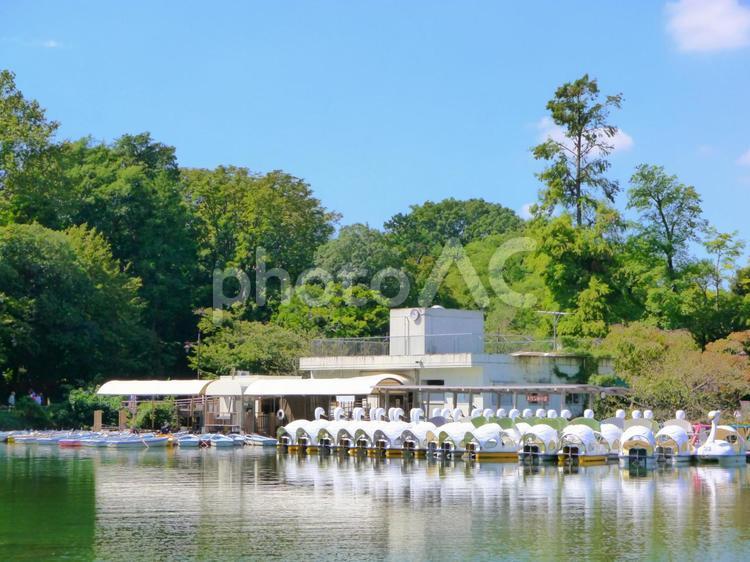 井の頭池のスワンボート/井の頭恩賜公園(1)の写真