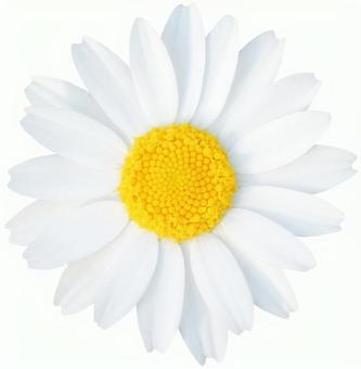 White flower (PSD has background transmission, clipping path included)