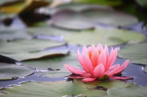 아름다운 연꽃 (이미지)