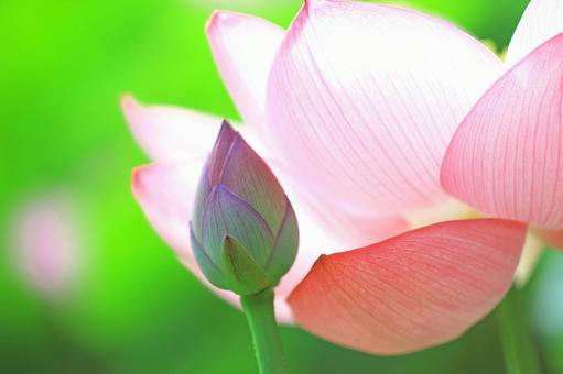 Lotus lotus pink flowers and buds