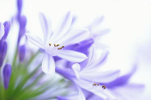Agapanthus blue flower