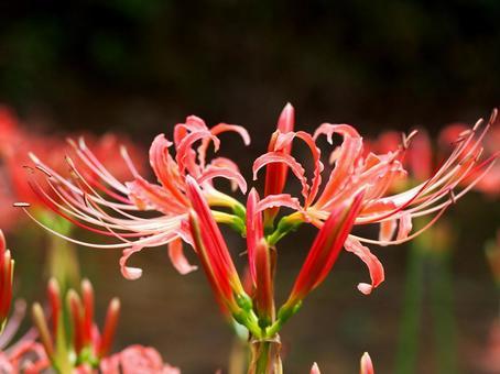 분홍색 피안 꽃. 01