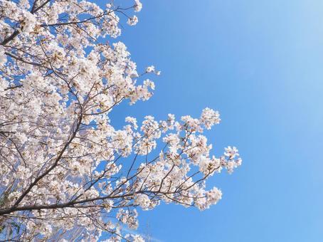 푸른 하늘과 벚꽃 봄 이미지