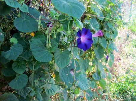 Purple morning glory flower