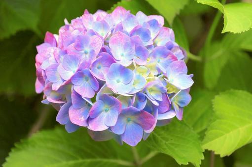 可愛的繡球花
