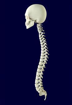 두개골과 척추