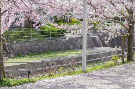 A row of cherry blossom trees along the river 1