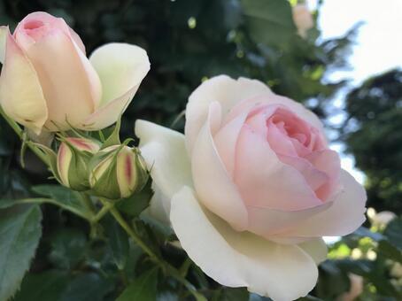 밝은 핑크 장미 02