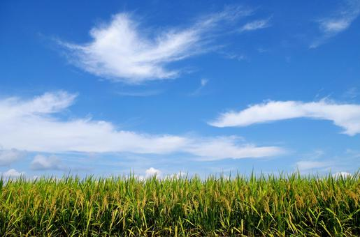 Autumn sky and paddy field
