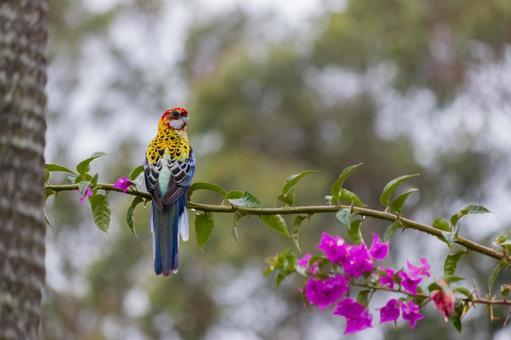 澳大利亞野生鳥類紅冠野生野生玫瑰可愛,色彩鮮豔,美麗的鳥與九重葛