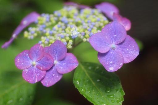 Hydrangea rain on a rainy day 1