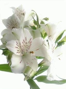 흰색 앨리스 토로 멜리아 1