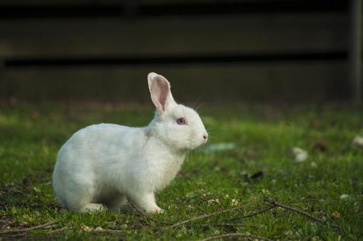 Outdoor white rabbit landscape 2