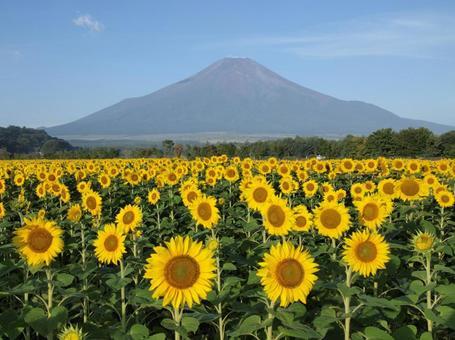 Sunflower and Mt. Fuji