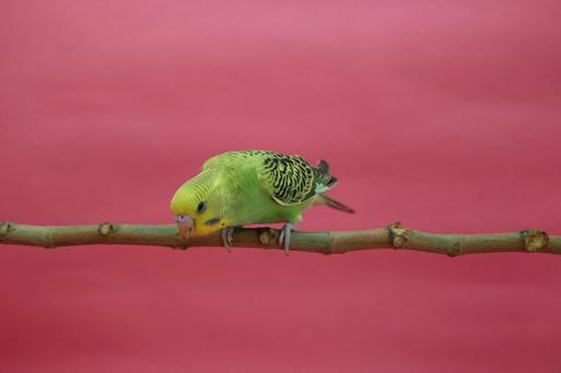 Sekisei parakeet 1 bird 1