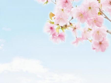 분홍색 벚꽃과 푸른 하늘 겹 벗나무 봄 이미지
