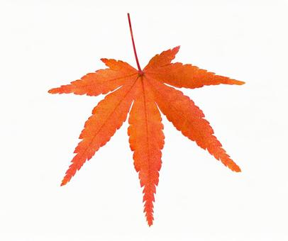Maple * See below for the cutout path