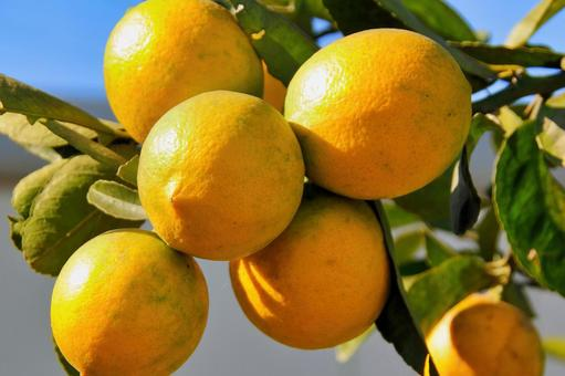 Domestic pesticide-free cultivated lemon that has been exposed to plenty of sunlight