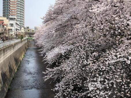 Row of cherry blossom trees in the Kanda River