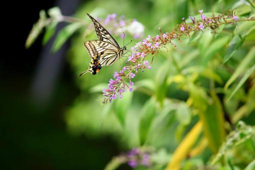 꽃에 그칠 호랑 나비