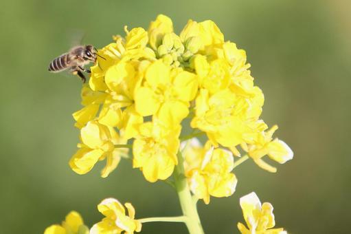 유채 꽃과 꿀벌